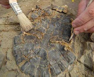 Fósil de tortuga con la cabeza y las extremidades. Gerrad Campeny / IPHES