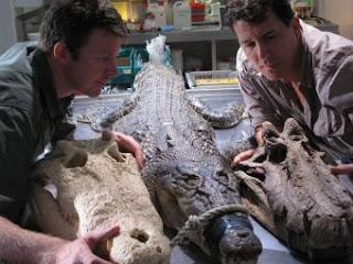 Los paleontólogos Hans Larsson y Paul Sereno comparan cráneos de cocodrilos fósiles con un ejemplar actual.- NATIONAL GEOGRAPHIC