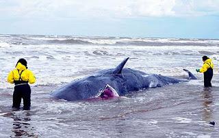 Dos expertos miden una de las ballenas varadas. | Efe