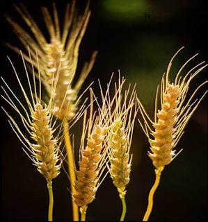 Los cereales procesados se incluyeron en la dieta hace 100.000 años