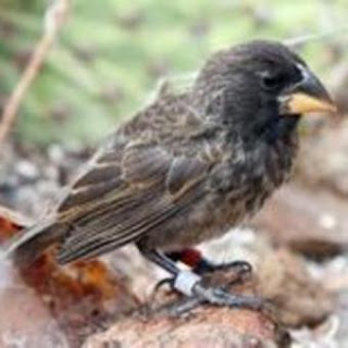 Imagen de la nueva especie de pinzón hallada en el archipiélago de las Galápagos. UNAV