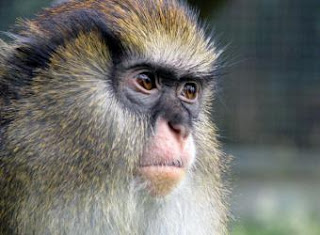 Mono de Campbell (Cercopithecus Campbelli), de Costa de Marfil. AFP
