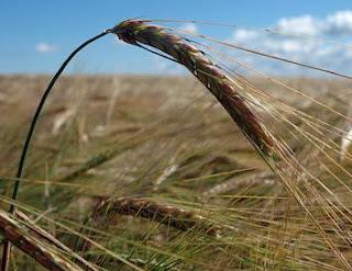 Secuencian el genoma del trigo por primera vez. REUTERS