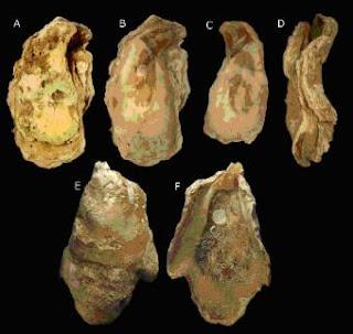 Ejemplares de ostra gigante encontradas en el golfo de Cádiz.- Instituto Español de Oceanografía