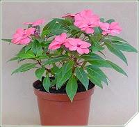 Exclusivas plantas para el hogar - Planta alegria del hogar ...
