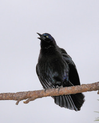 female common grackle. common grackle female. house