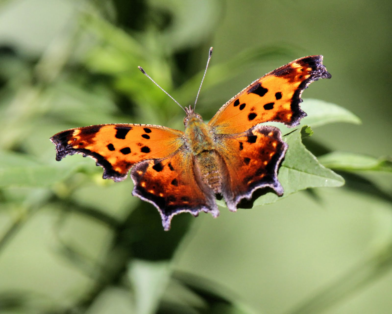 Question Mark Butterfly ... butterfly painted ...