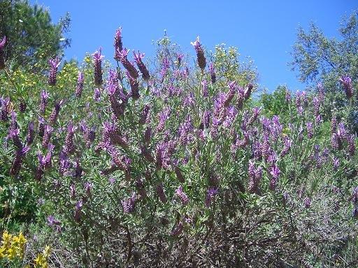 cantueso en flor