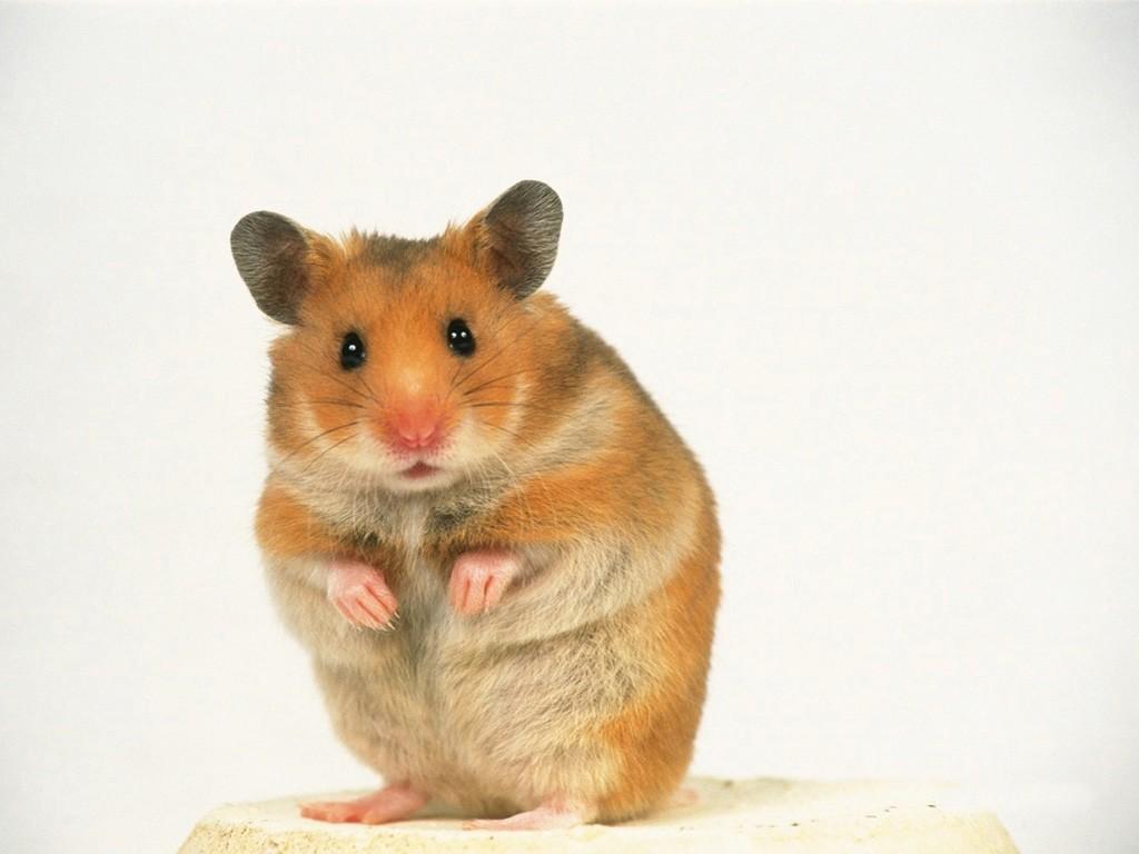 http://1.bp.blogspot.com/_CzqHu4hRAbE/TT0KZoIB-oI/AAAAAAAAAFI/fIzJcj6__yY/s1600/hamster-01049.jpg