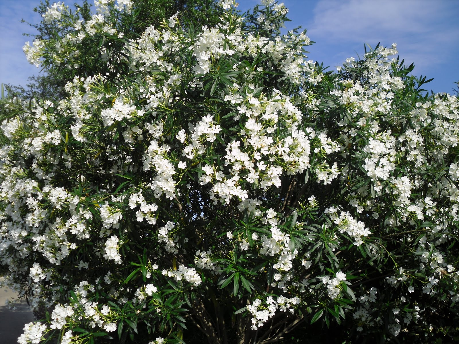 Jupiter Real Estate And Lifestyle Oleanders In Bloom