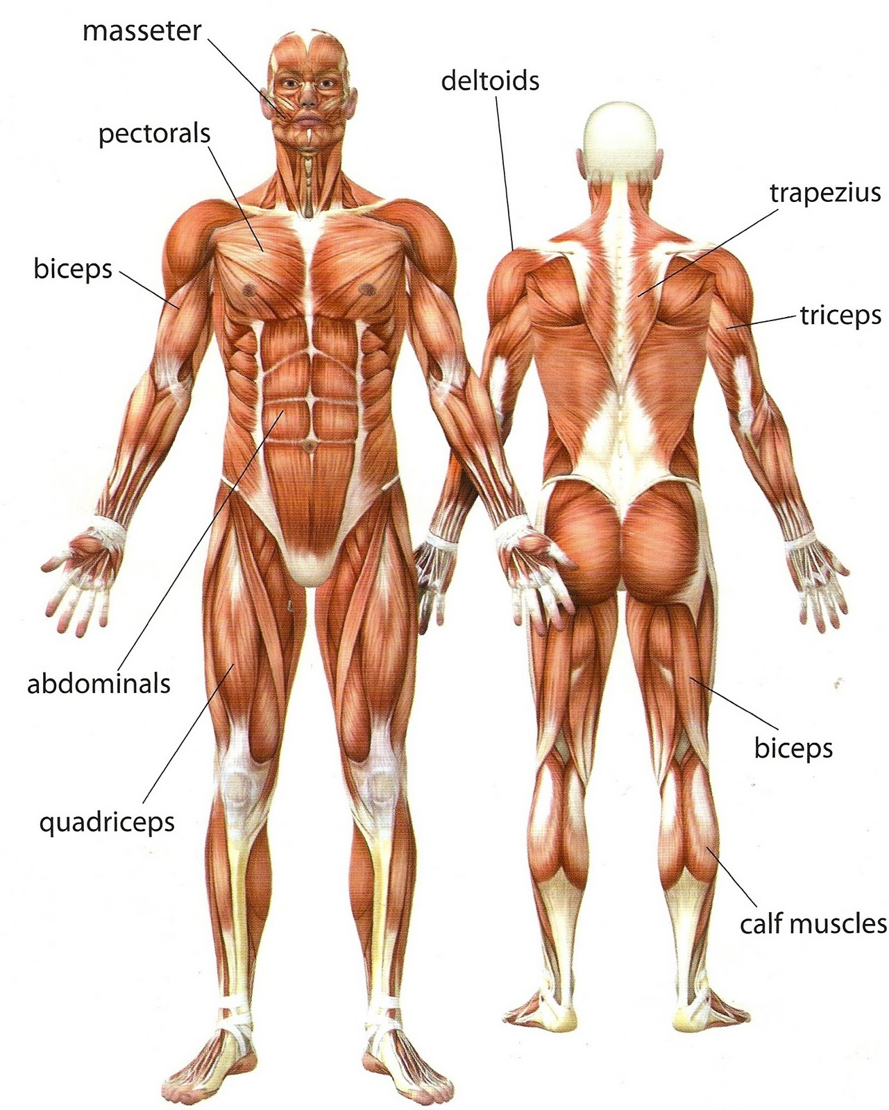 The muscles in our bodyAnatomy Of Human Body Muscles