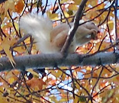 White squirrels on Lake Norman