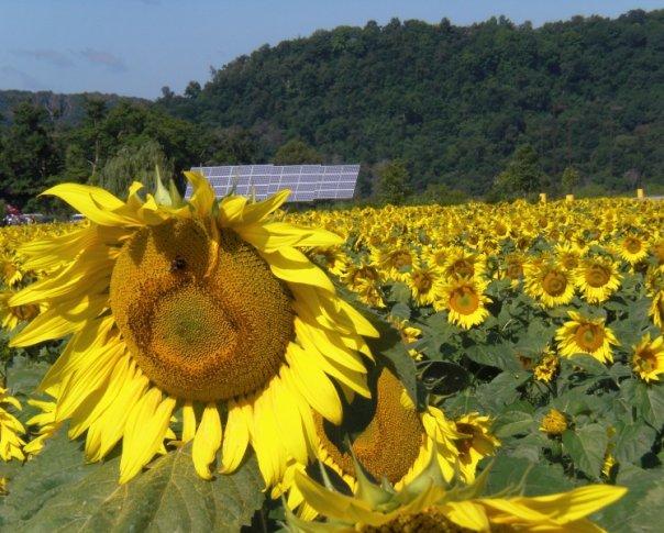 [sunflowers]
