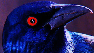 stared into the blood red eyes of a Zozo ! (Blackbird or Crowe