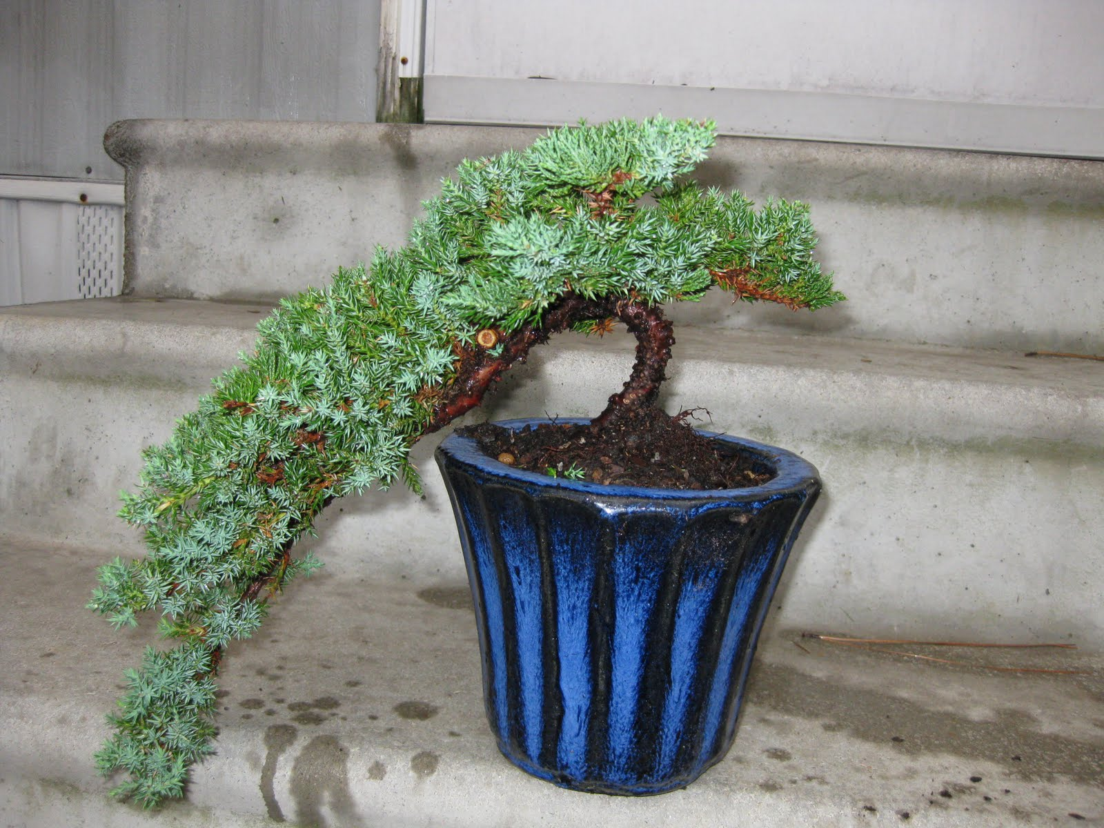 White Tiger Bonsai Cascading Juniper Potted Today