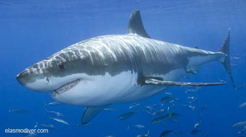 Great White Sharks Adaptations