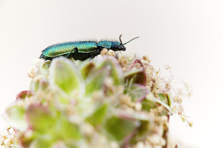 para ampliar Psilotrix viridicaeruleus hacer clic
