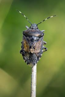 Para ampliar Rhaphigaster nebulosa (Chinche) hacer clic