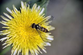 Para ampliar Episyrphus balteatus (Mosca cernidora) hacer clic