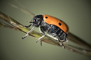 Para ampliar Lachnaia sp (Escarabajo de las hojas) hacer clic