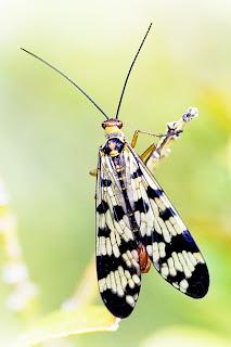 Para ampliar Panorpa meridionalis (mosca escorpión) hacer clic