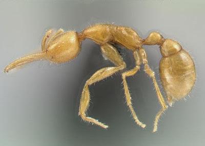 火星螞蟻 亞馬遜 Martialis heureka - 通體金黃的火星螞蟻在亞馬遜