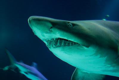 章魚 吞掉 鯊魚