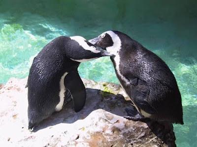 十大奇特夫妻 - 哈裡和胡椒是舊金山動物園一對企鵝,都是男性