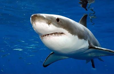 澳洲大白鯊撞船