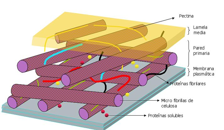 Muebles domoticos la pared celular vegetal y la celulosa for Pared y membrana celular