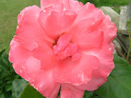 Sach's Rose