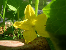 Excuse Me, Burpless Cucumber Bloom