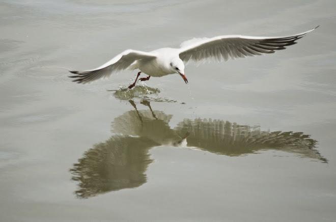 Gaivotas e Reflexos 3 - Baía do Seixal