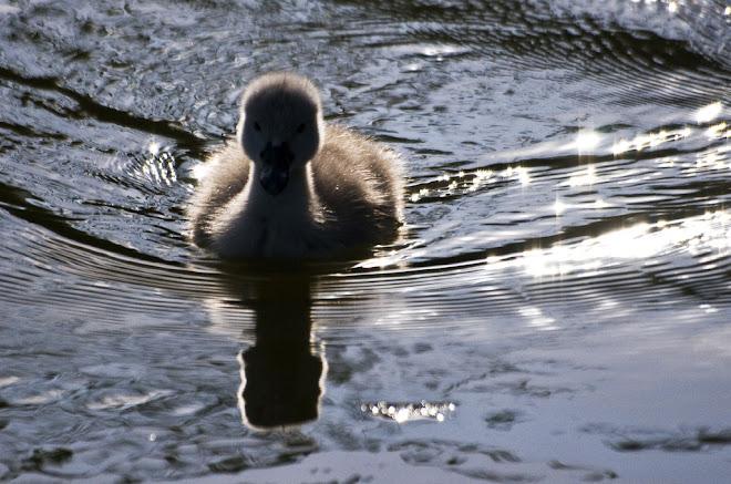 O pequeno cisne - Parque da Paz, Almada