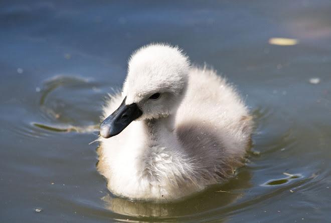 O pequeno cisne 3 - Parque da Paz, Almada