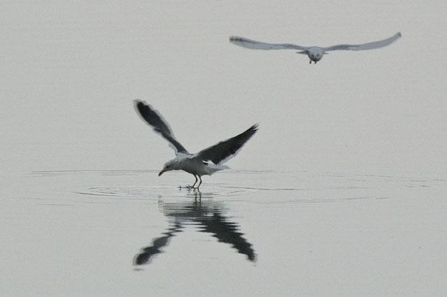 Gaivotas numa manhã cinzenta 1 - Baía do Seixal