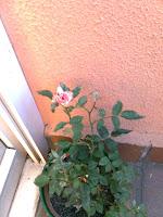 La rosa diminuta, en una esquina del balcón