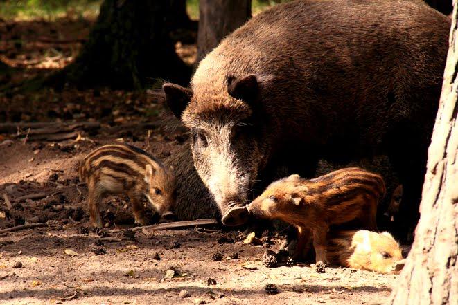 süße Wildschweine, Frischling, Herbst, Naturfoto