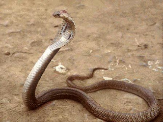 King cobra can store sperm for several years