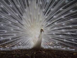 طاووس سفیدbia2pix.ir