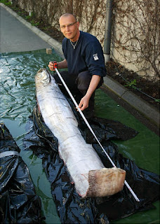 12 foot Giant Oarfish Found in Sweden - Photos