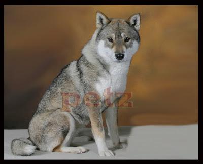 Dog Breeders Shiba Inu Sherwood Park Canada