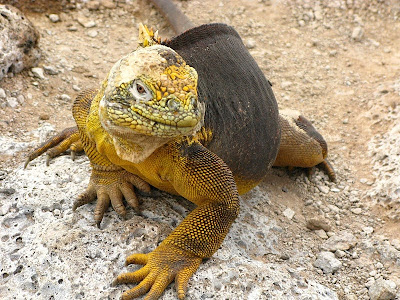 Come hither iguana