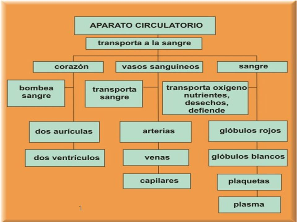 El Sistema Cardiovascular: Breve Esquema Conceptual