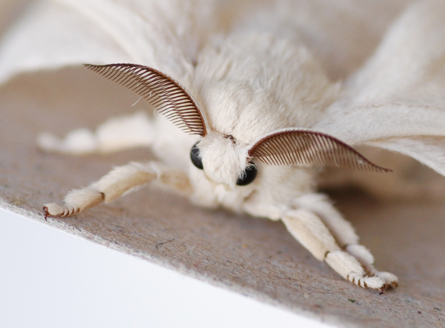 What Do Silk Moths Eat And Drink