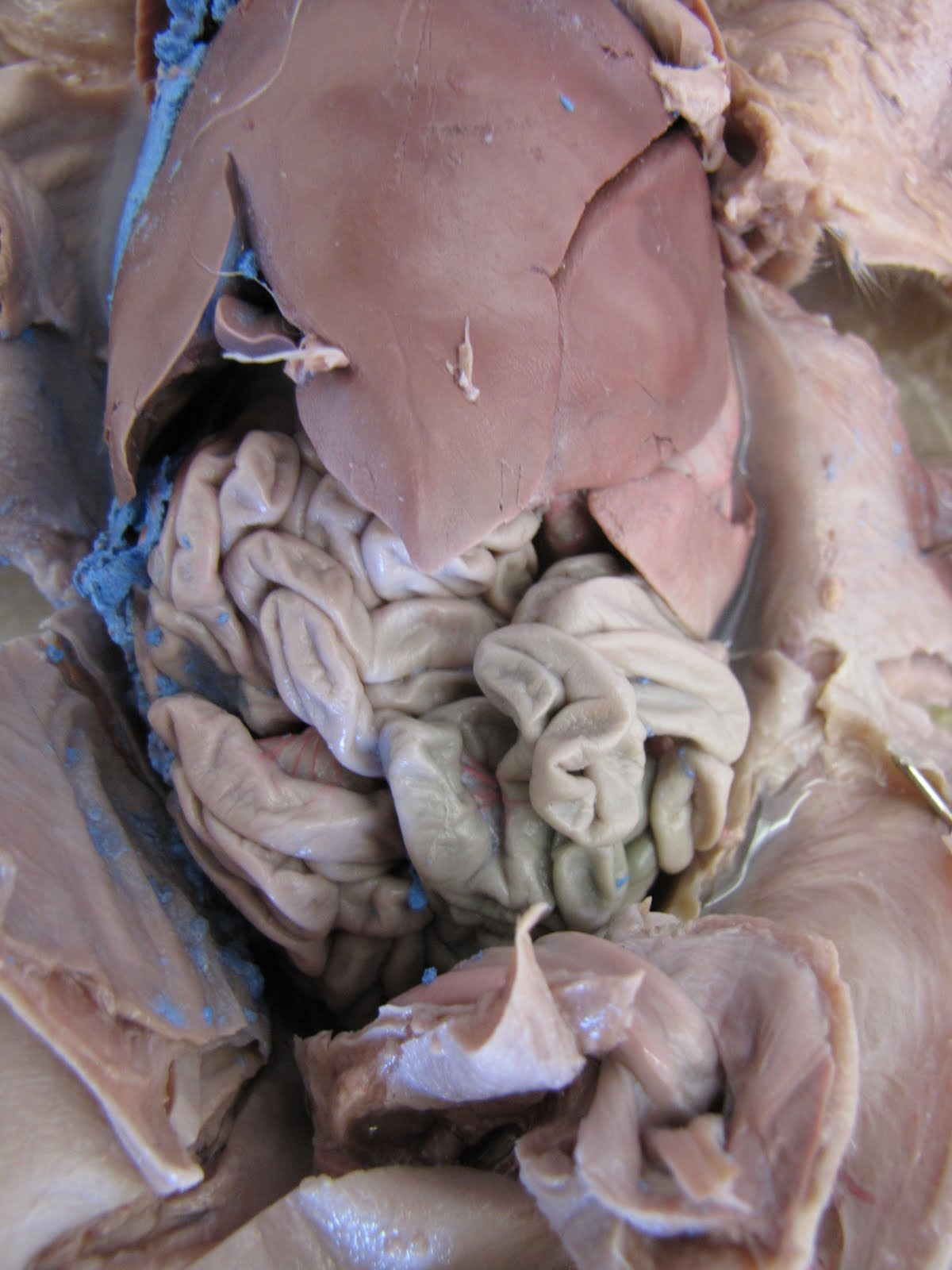 The anatomy of a fetal pig comparison between human and fetal pig anatomy pooptronica Image collections