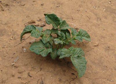 potato growing box