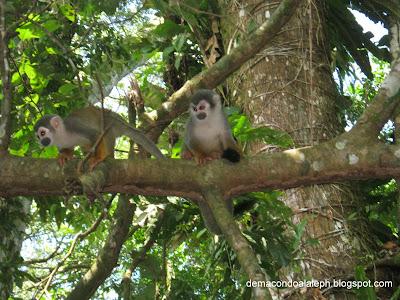 Micos Frailes en la Isla de los micos
