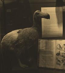 Dodo mauricien