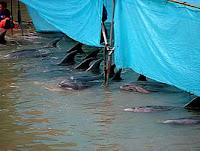 Massacre de dauphins